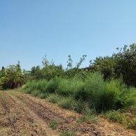 צמחי אספרגוס מפותחים - במאי. לאחר שהקטיף נפסק