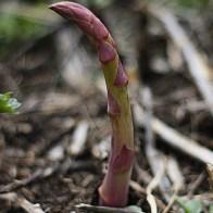 אספרגוס לקראת הקטיף- גבעול חדש שמציץ מהאדמה