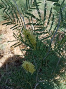 Syrian mesquite  flowers