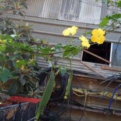 שלוחות של המטפס עם פרחים ופירות