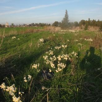 מקבצי נרקיסים בפריחה בפינה נשכחת בעמק יזרעאל