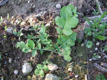 חרדל- בהמשך מתפתח לצמח גדול מאד