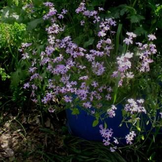כרמלית נאה Ricotia lunaria