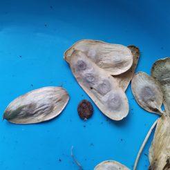תרמילי זרעים וזרע