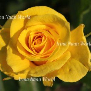Bright yellow rose under the sun