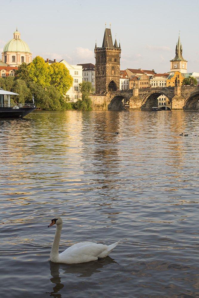 Prague sightseeing: my top 10 things to do in Prague | A swan and Charles Bridge from Hergetova Cihelna