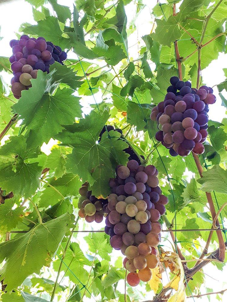 Grapes in Moldova