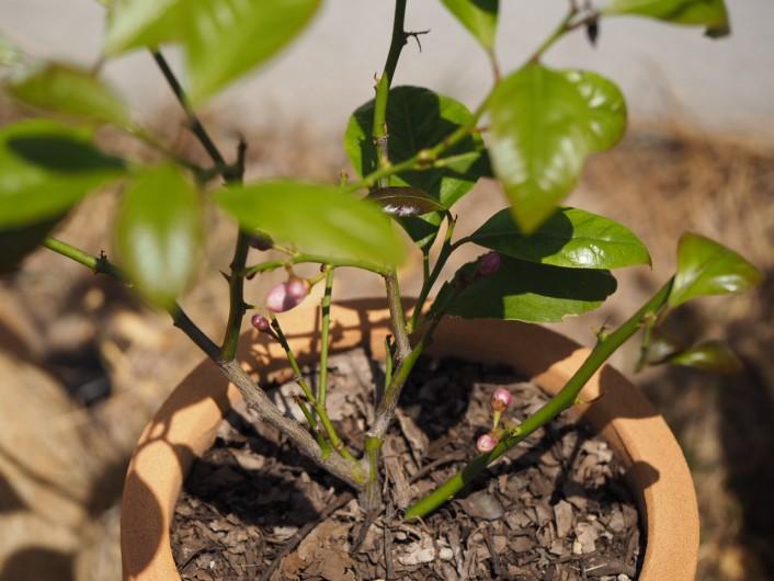 レモンの挿し木