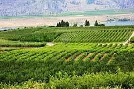 kelowna vineyards
