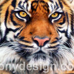 Male Siberian Tiger Prints and Products