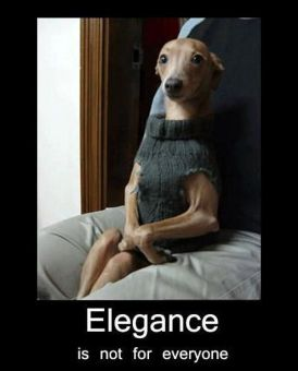 Whippet or Italian Greyhound Dog. Elegance is not for everyone.