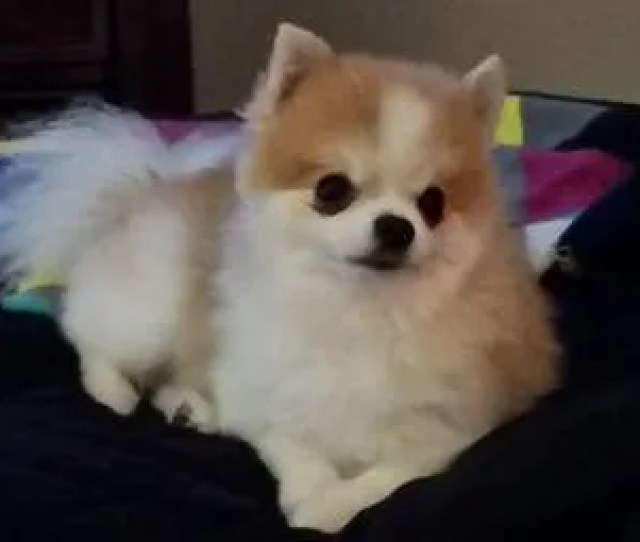 Pomeranian Fur Cut Too Short