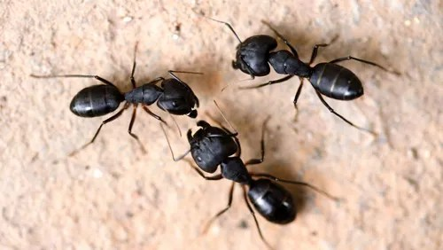 Get Rid Of Carpenter Ants With Ehrlich