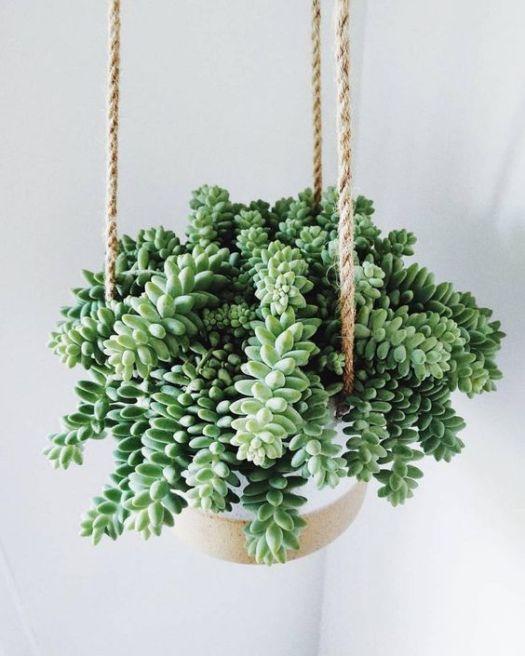 Kaktus Anggur