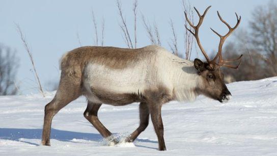 Resultado de imagen de imagenes del reno