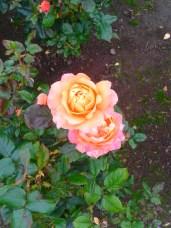 orange_rose_31