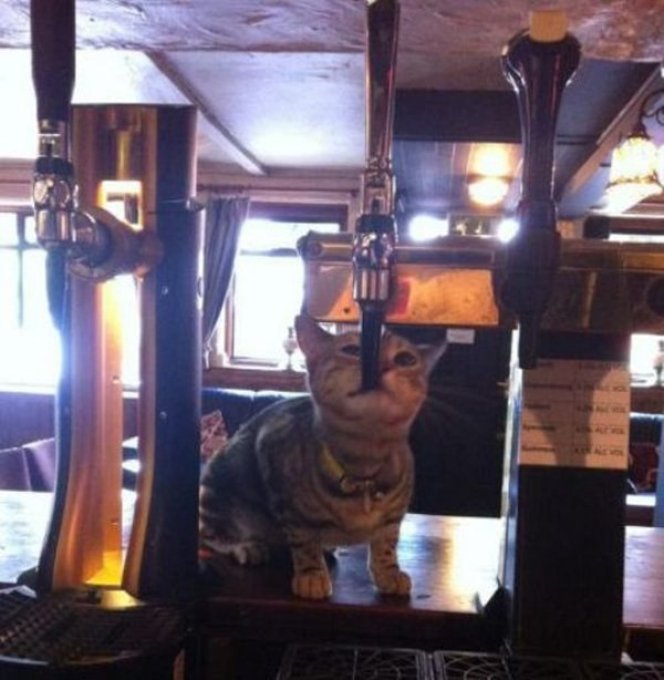 Irti Funny Picture 8240 Tags Cat Drinking Beer Bar