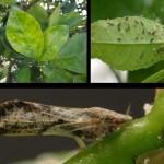 Citrus Tree Disease Detected in Irvine