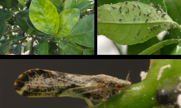 Citrus Tree Disease Detected in Irvine