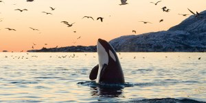 la-historia-de-la-orca-crea-t-las-rozas