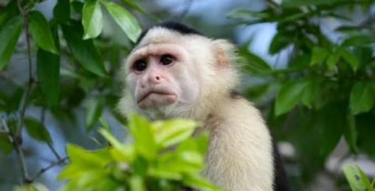 Realizan-labores-de-rescate-para-mono-capuchino-768x391