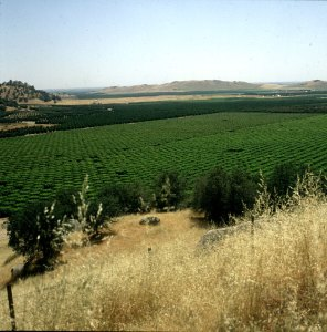 Orangenplantagen in Südkalifornien 1986