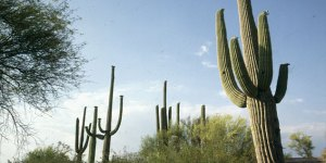 Saguaro-Leitkakteen in Südarizona 1983