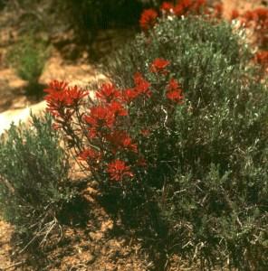 bryce-canyon-blume