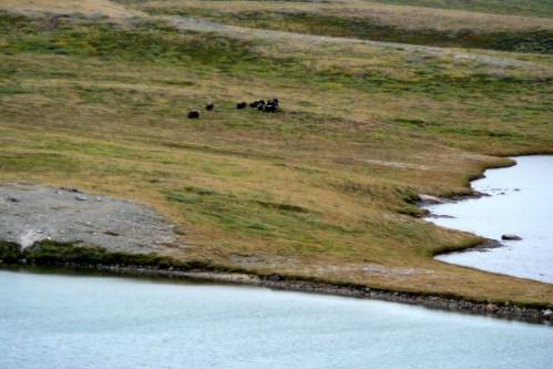 Grönland-wenige Bisons 2007