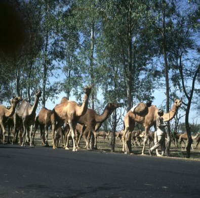 Indien-Fatehpur-kamelherde-1999