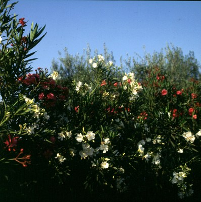 marokko-oleander 1995