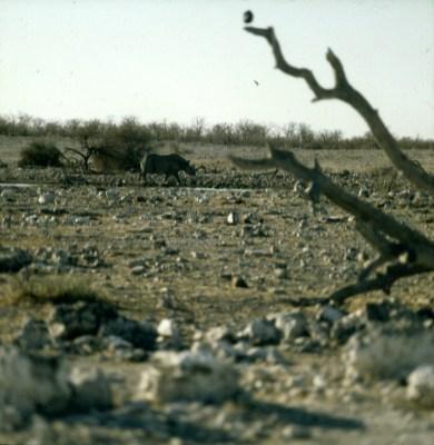 namibia-etoscha-nashorn 1987