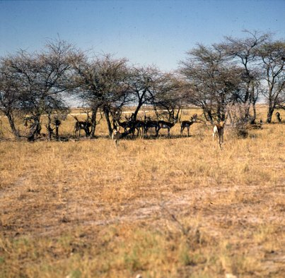 namibia-etoschapfanne Mittagsruhe 1987