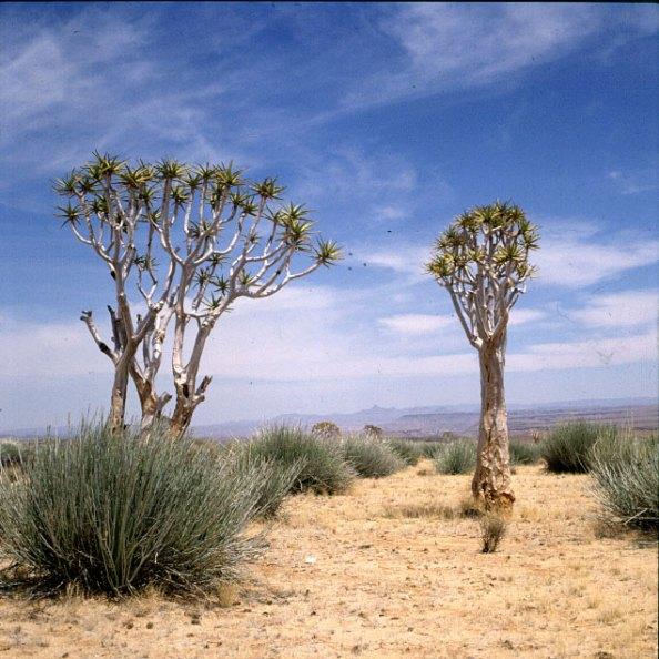 namibia-koecherbaeume 1987