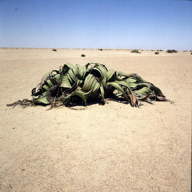 Namibia Welwetschia doppelgeschlechtlich 1987