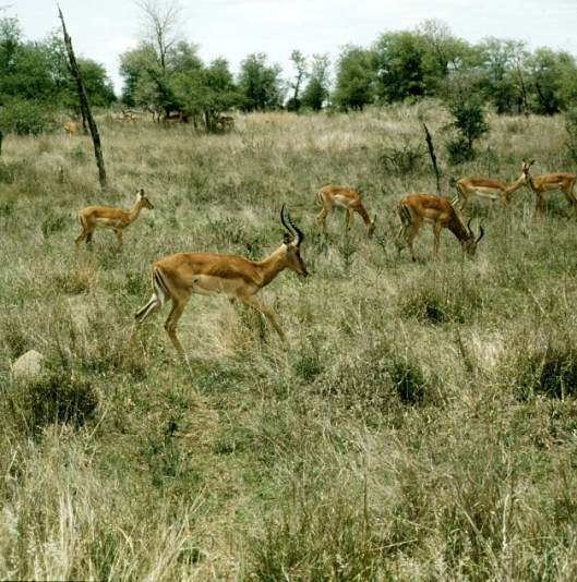 suedafrika-kruegerpark 1980