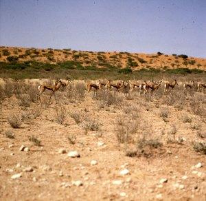 Südafrika-Impalas im Gemsbock N.P. 1987