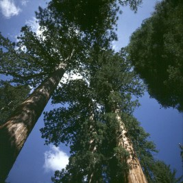 yosemite-park-mammutbäume