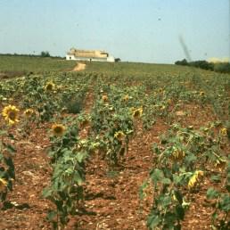 spanien-andalusien-sonnenblumen 1977