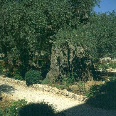 Jerusalem-GartenGethsemane
