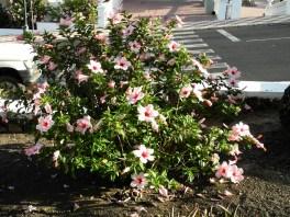 Traumschiff-Madeira-kanaren-hibiskus 2012