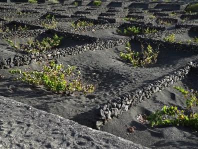 Traumschiff -Lanzarote-Lavaweinfeld 2012