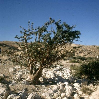 oman-salalah-weihrauchbaum 1989