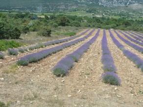 rhone-lavendel-feld