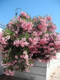 rhone-oleander