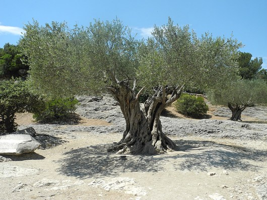 rhone-olivenbaum