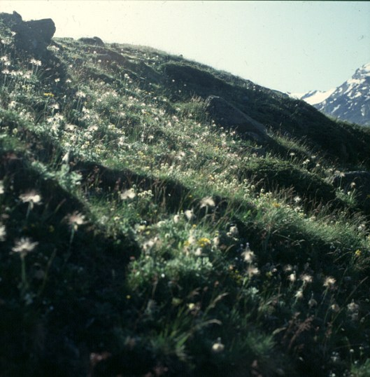 zermatt-wollgras