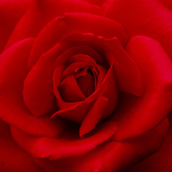 Rose Wallpapers & Backgrounds – Pictures of Roses