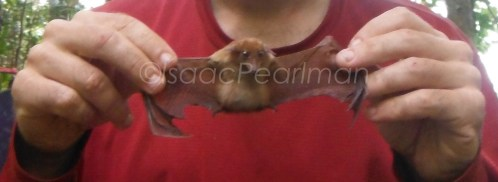 The dagger-toothed flower bat is one of the smallest bats in Sibuyan. This is a pregnant female!
