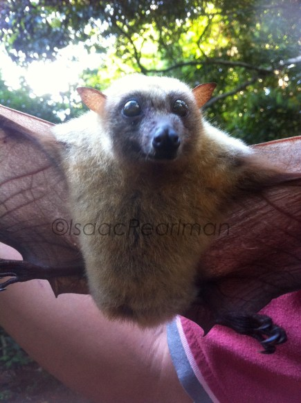 The little golden-mantled flying fox (Pteropus pumilus) primarily eats fruit, like many of the bat species in Sibuyan.